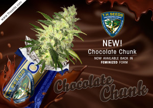 T H Seeds new strain Chocolate Chunk!